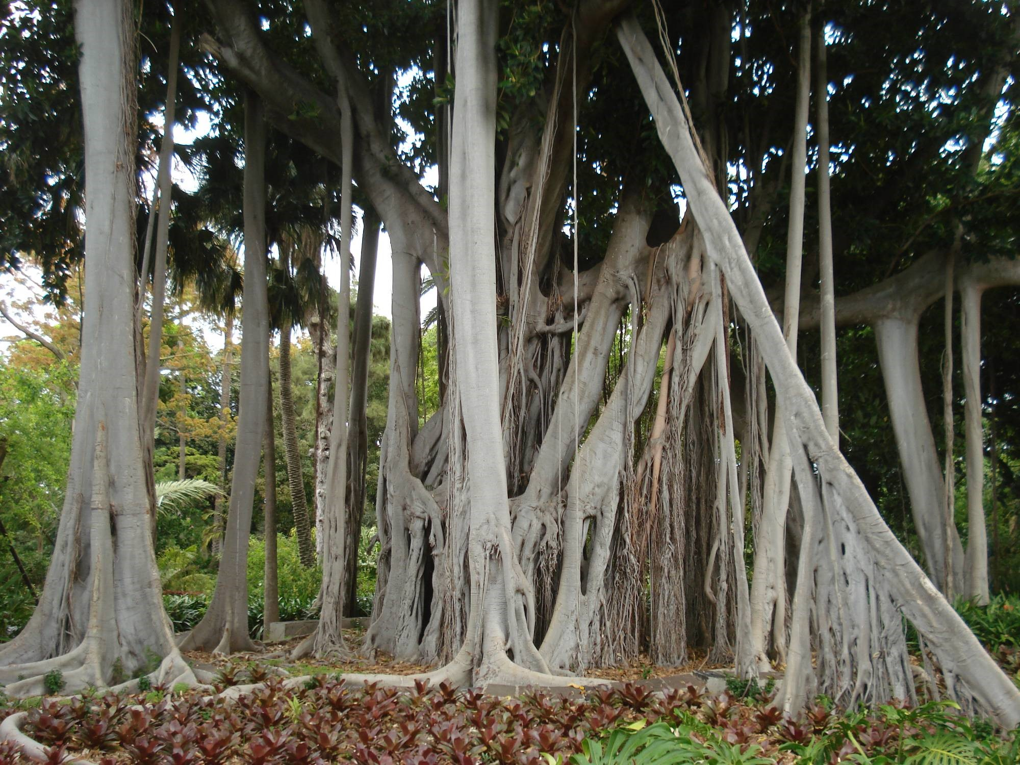 Un paseo por el jard n bot nico puerto de la cruz xperience for Arboles del jardin botanico